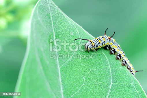 istock monarch butterfly caterpillar on leaf 1069434334