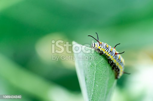 istock monarch butterfly caterpillar on leaf 1069434340