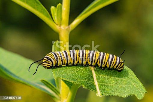 istock Monarch Butterfly Caterpillar 1034597446