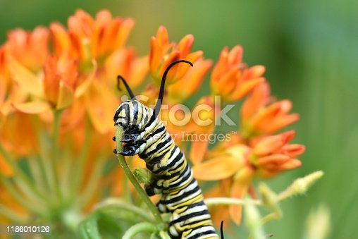 Monarch Butterfly Caterpillar having a little snack on a butterfly weed plant.
