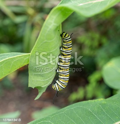 Monarch Butterfly Caterpillar (Danaus Plexippus) on Milkweed Plant