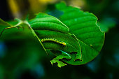 A Monarch butterfly caterpillar in lush foliage in a natural habitat