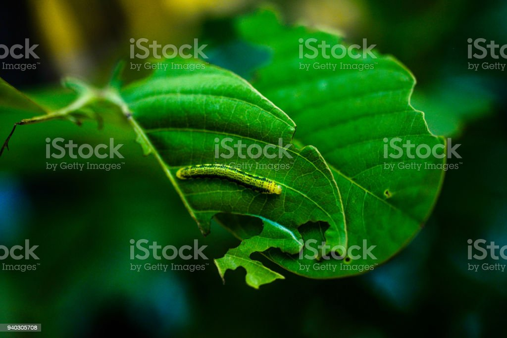 Borboleta monarca Caterpillar - foto de acervo