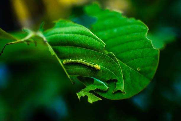 borboleta monarca caterpillar - lagarta - fotografias e filmes do acervo