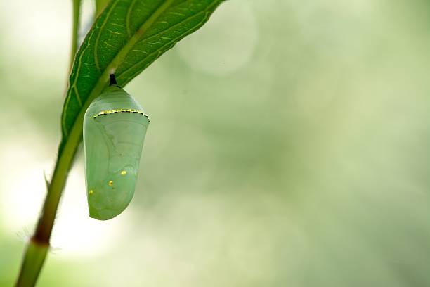 흑백 제왕나비 chrysalis, 아름다운 누에고치 - 누에고치 뉴스 사진 이미지