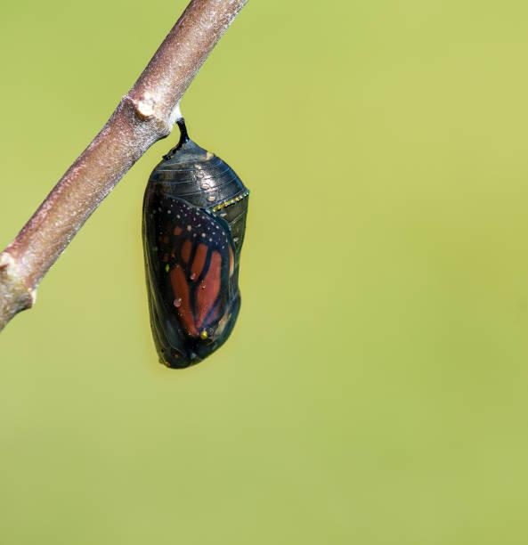 흑백 제왕나비 chrysalis - 누에고치 뉴스 사진 이미지