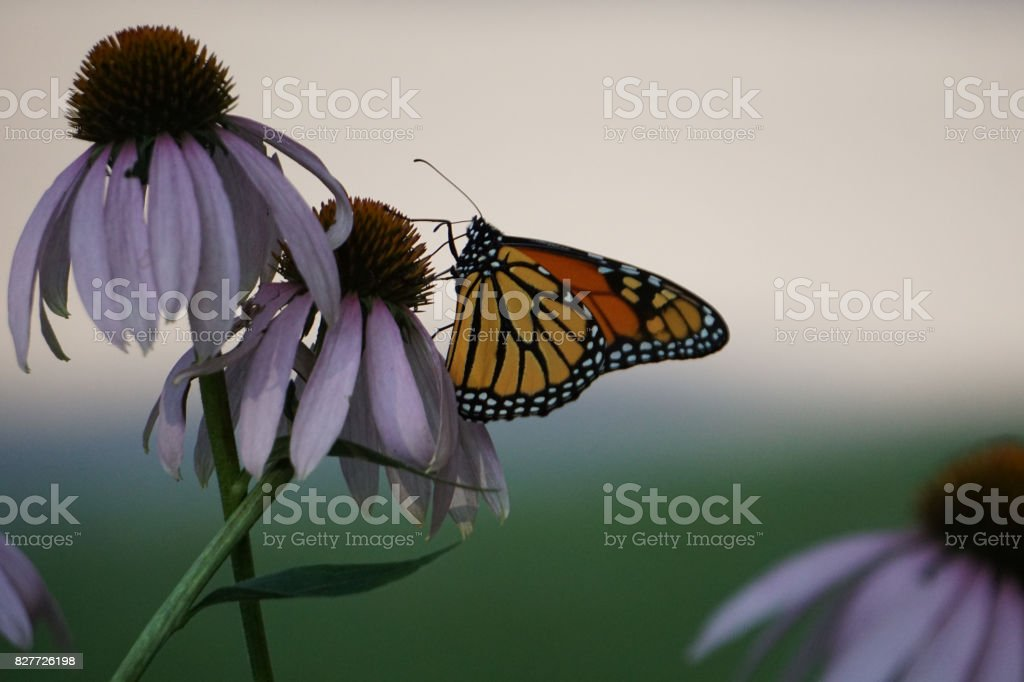 Monarch butterfly close up - Danaus plexippus stock photo