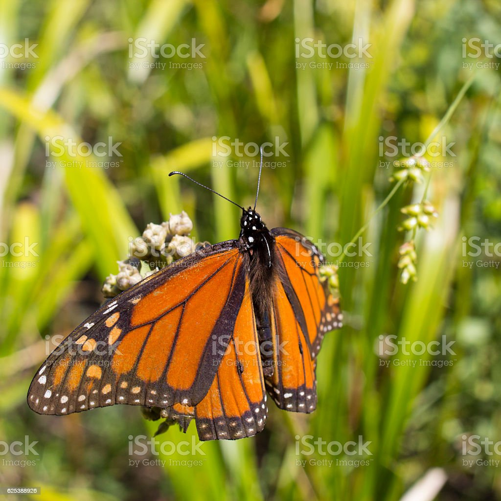 Monarch Butterfly Close Up stock photo