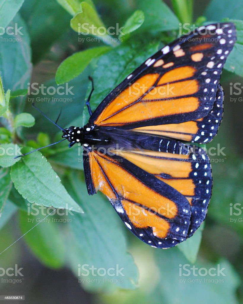 Monarch Butterfly Close-Up stock photo