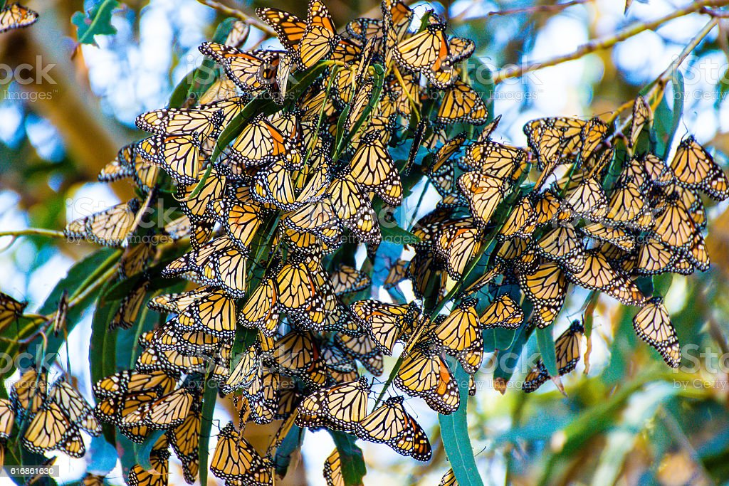 Monarch Butterfly Cluster stock photo