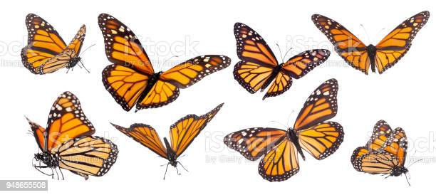 Monarch butterfly composite isolated on white picture id948655508?b=1&k=6&m=948655508&s=612x612&h=keycuxykhwdxc2 fl bqz0qxu6kt8enygp0l5puipno=