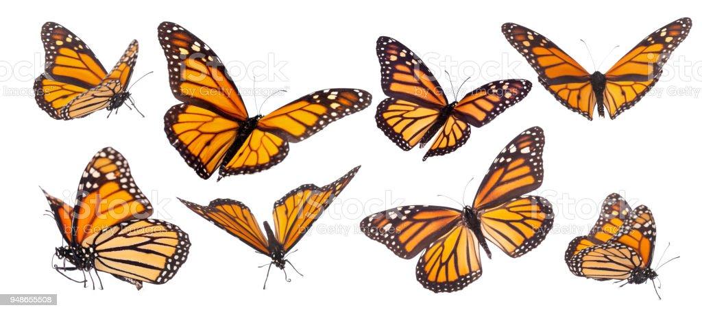 Monarch-Schmetterling Komposit isoliert auf weiss – Foto