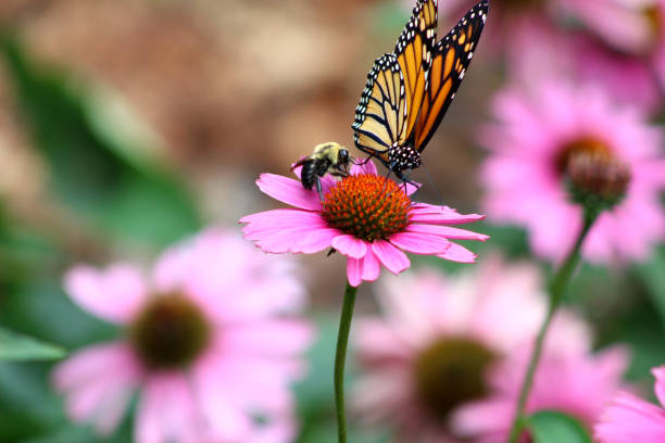 monarch butterfly danaus plexippus and bee on purple coneflower echinacea purpurea - bumblebee stock pictures, royalty-free photos & images