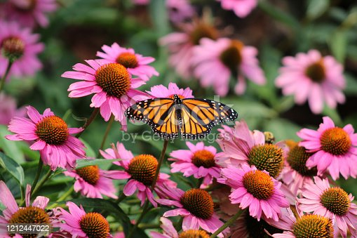 Monarch butterfly in field of purple coneflowers
