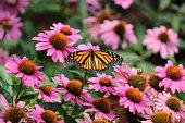 Monarch butterfly in field of purple coneflowers