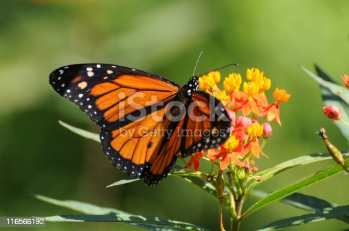 Monarch butterfly,