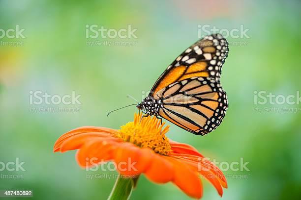 Monarch butterfly danaus plexippus picture id487480892?b=1&k=6&m=487480892&s=612x612&h=trar8y14 raxb1g38gpp9stkdttsnzmytcfe3ejpt78=