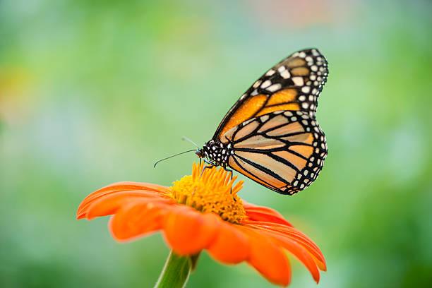 Monarch butterfly danaus plexippus picture id487480892?b=1&k=6&m=487480892&s=612x612&w=0&h=tbvhkf3757dsjyodj2 l n6t7ftqcwirjyqwnho4dck=