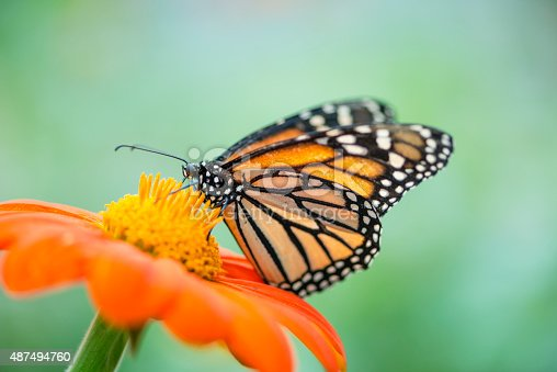 Monarch butterfly (Danaus plexippus) feeding on an orange flower.  Out of focus area for copy.