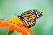 Monarch butterfly (Danaus plexippus) feeding on an orange flower.  Out of focus area for copy.
