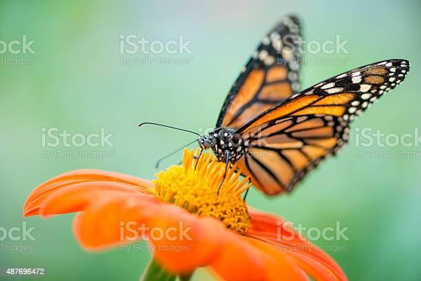 Monarch butterfly danaus plexippus picture id487696472?b=1&k=6&m=487696472&s=612x612&h=wa7imishbx795e6ypmiptddpkkz7wmqcx8rm3 ilqm4=