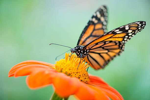 Monarch butterfly danaus plexippus picture id487696472?b=1&k=6&m=487696472&s=612x612&w=0&h=qhgsr0lumvve5svjspsohfwy2ipfmbqyvdt651t4bxq=
