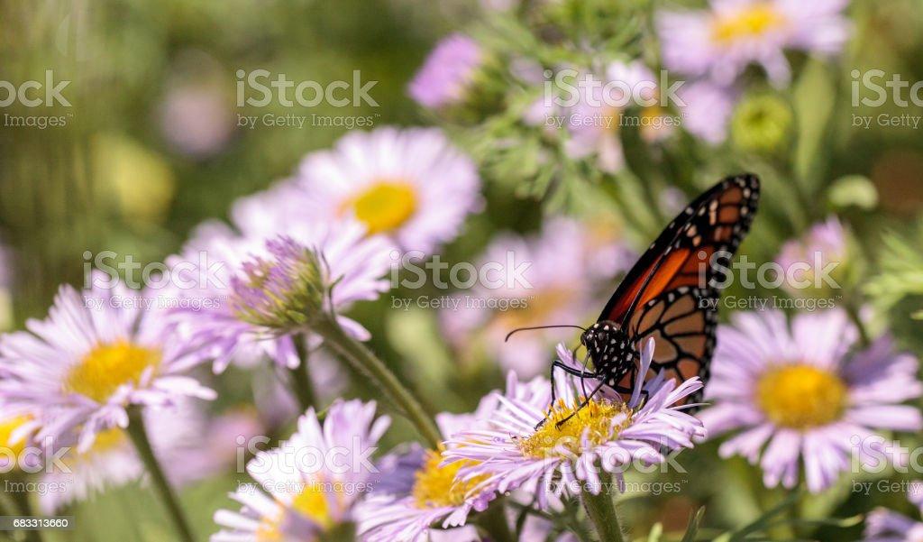 Monarch butterfly, Danaus plexippus zbiór zdjęć royalty-free