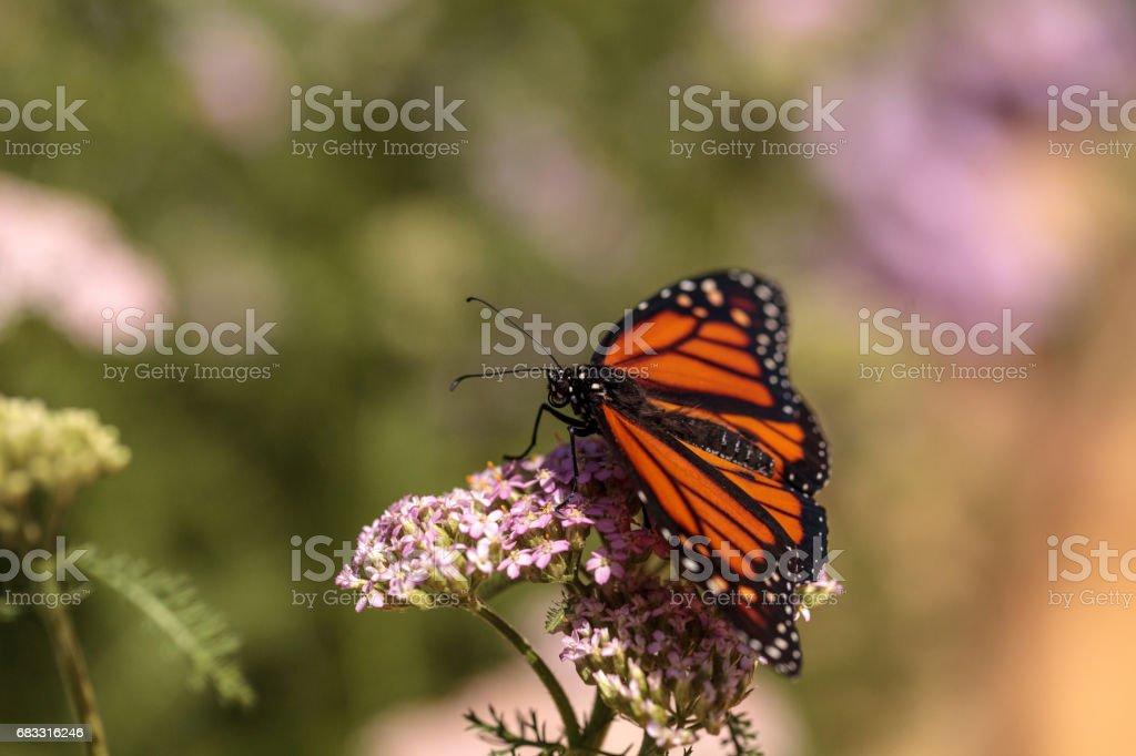 Monarkfjärilen, Danaus plexippus royaltyfri bildbanksbilder