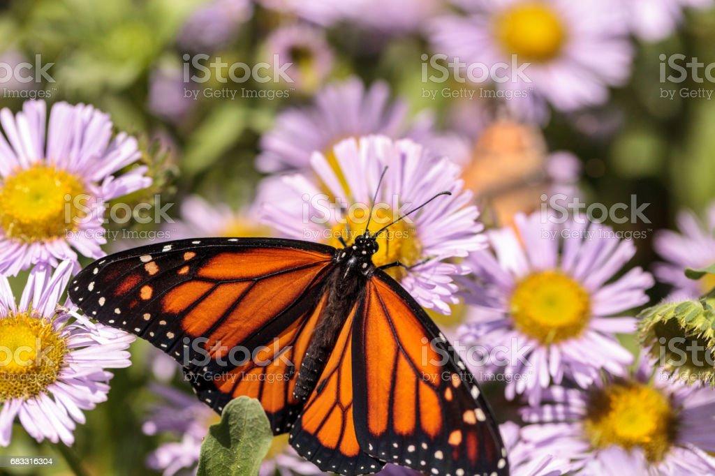Monarch butterfly, Danaus plexippus foto stock royalty-free