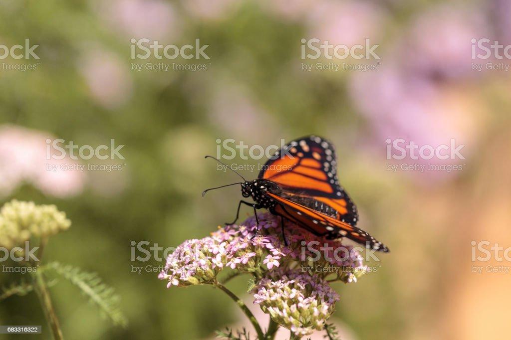 Monarch vlinder, Danaos plexippus royalty free stockfoto