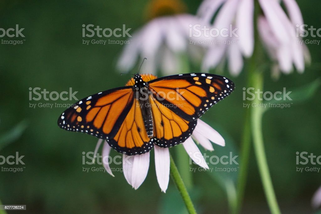 Monarch butterfly - Danaus plexippus stock photo