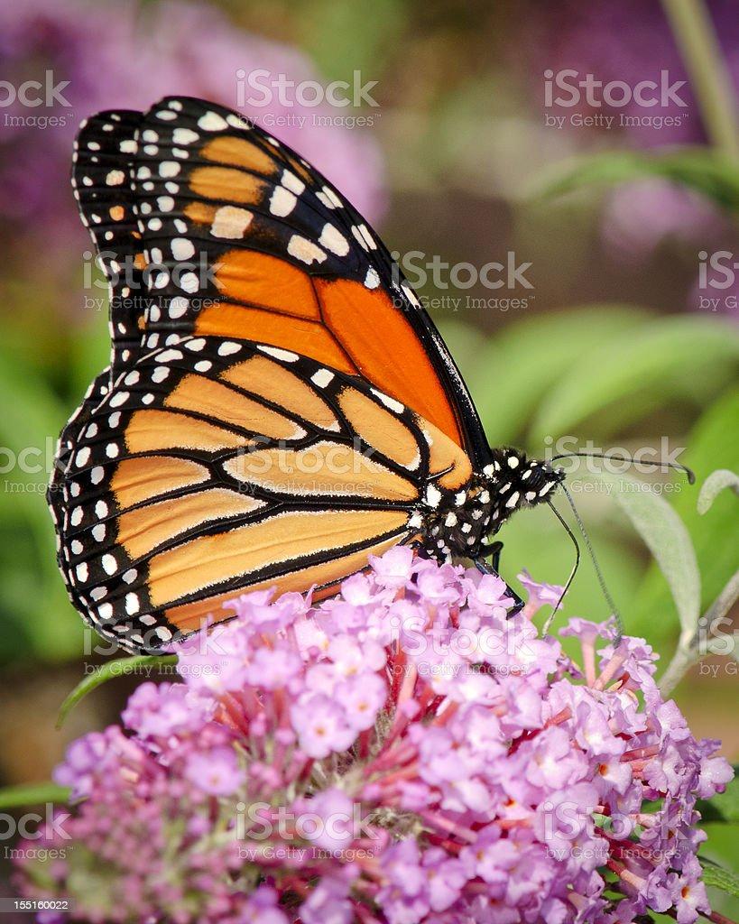 Monarch Butterfly (Danaus plexippus) Drinking Nectar on Purple Flowers royalty-free stock photo