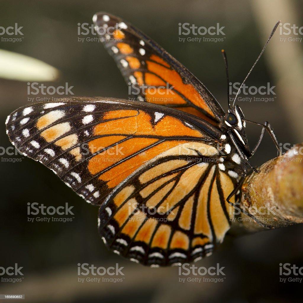 Borboleta monarca (Danaus plexippus) beber Sap da filial - foto de acervo