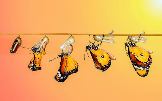 monarch-schmetterling seine flügel trocknen, nach der metamorphose - kokon stock-fotos und bilder