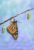 istock Monarch Butterfly drying wings next to three Chrysalides 1266695513