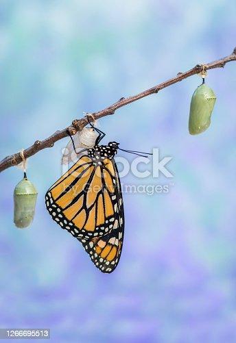 Monarch Butterfly, Danaus plexippuson, drying wings next to three Chrysalides blue background