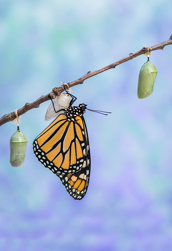 Monarch Butterfly drying wings next to three Chrysalides