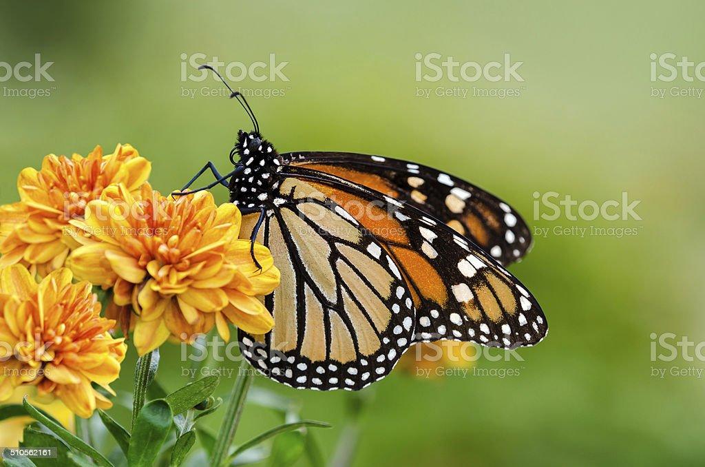 Monarch butterfly (Danaus plexippus) during autumn migration stock photo