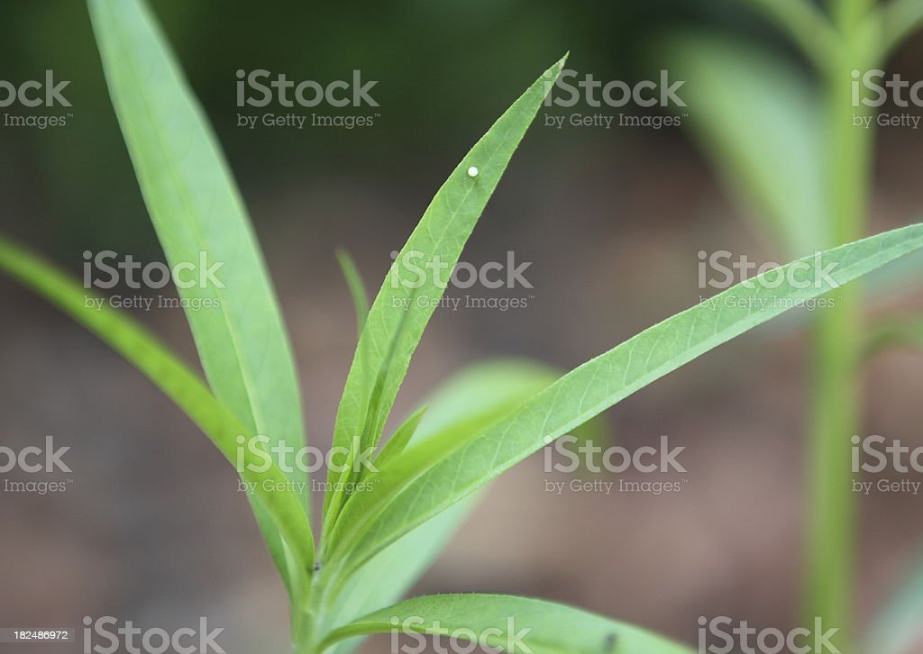 Monarch Butterfly Egg stock photo