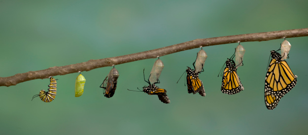 Monarch Butterfly emerging from it's chrysalis
