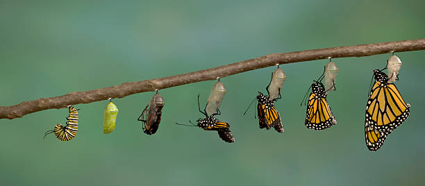monarch butterfly emerging from it's chrysalis - changing form stock pictures, royalty-free photos & images