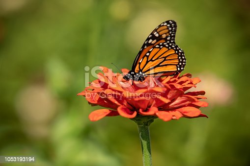 A beautiful monarch butterfly enjoying a lovely flower on a gorgeous fall day.
