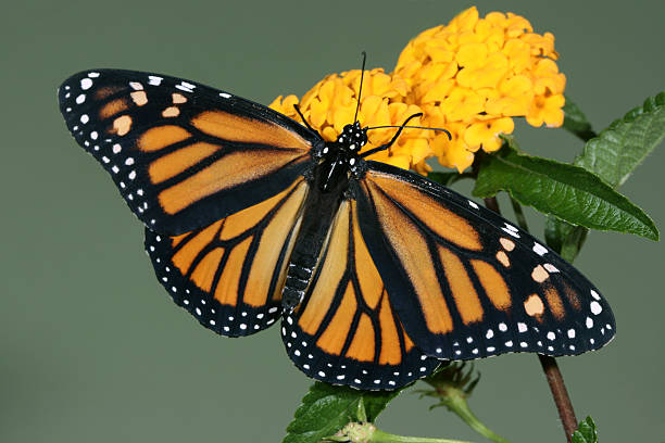 Best Female Monarch Butterfly Stock Photos, Pictures