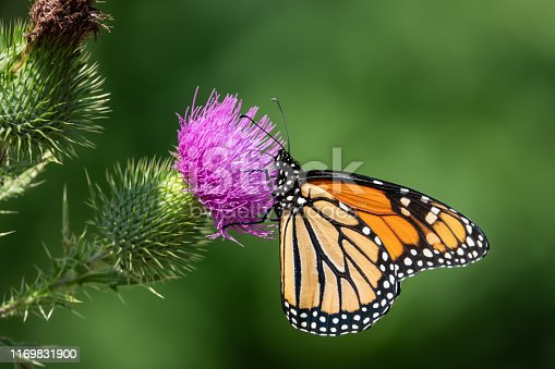 Monarch butterfly (Danaus plexippus) feeding on bull thistle (Cirsium vulgare) inflorescence in summer.