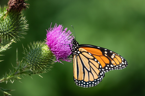 istock Monarch Butterfly Feeding on Bull Thistle Inflorescence 1169831900