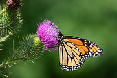 Monarch butterfly (Danaus plexippus) feeding on bull thistle (Cirsium vulgare) inflorescence in summer.