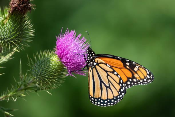 Monarch butterfly feeding on bull thistle inflorescence picture id1169831900?b=1&k=6&m=1169831900&s=612x612&w=0&h=vvaahpstdfpumnwazkjh20ljy o0i2qhkwq8khhqvwi=