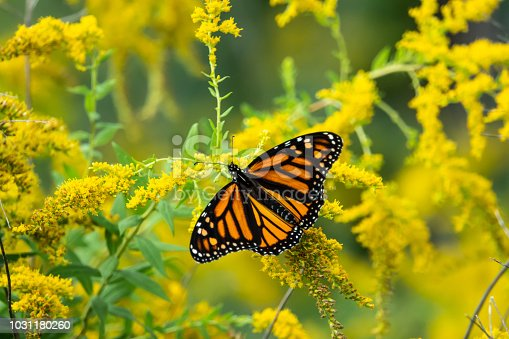 istock Monarch Butterfly Feeding on Goldenrod Flowers 1031180260