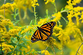 Monarch butterfly (Danaus plexippus) feeding on goldenrod (Solidago sp.) flowers in summer.