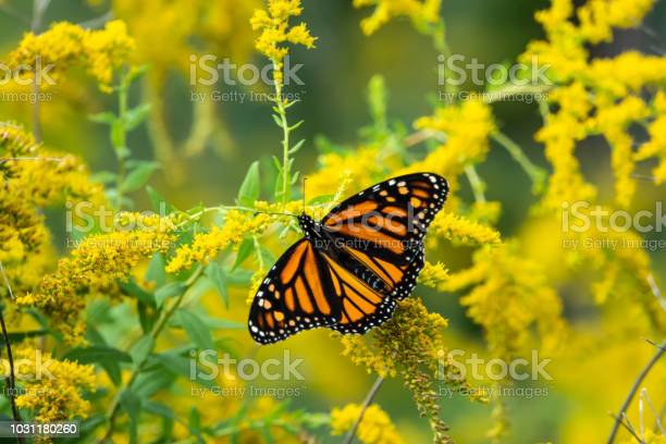 Photo of Monarch Butterfly Feeding on Goldenrod Flowers